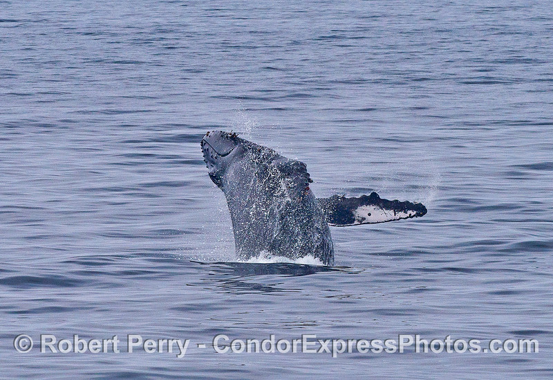 Image 2 of 4:   a humpback whale breaches