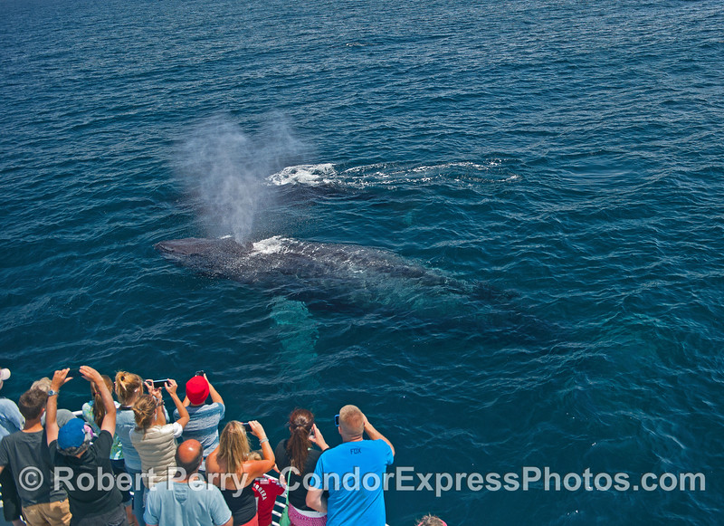Two friendly humpback whales in clear water - very close approach