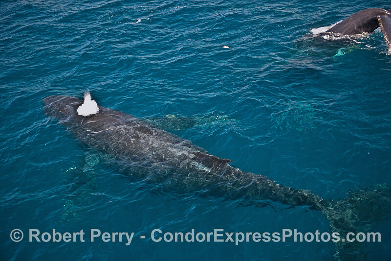 Two humpback whales in clear water