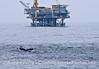 Deep diving humpback whale near Platform Habitat.