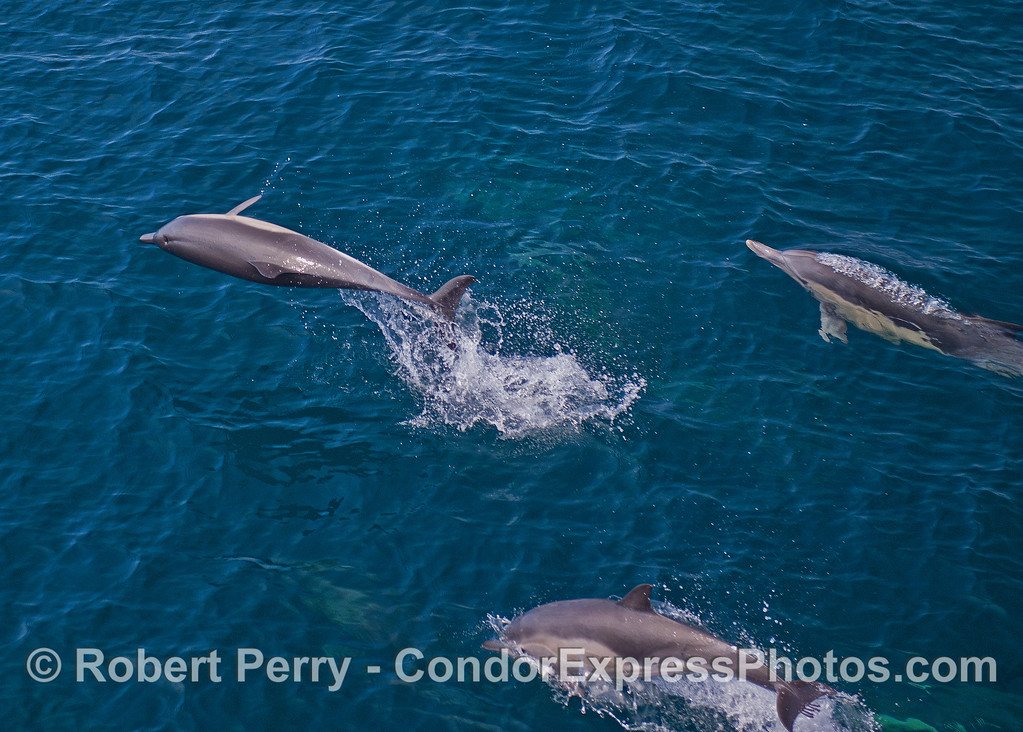 Image 1 of 2:  An acrobatic long-beaked common dolphin.