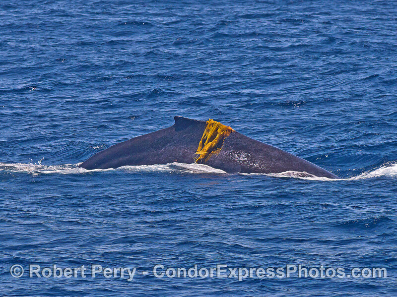 Image 2 of 2:   a humpback whale plays with giant kelp