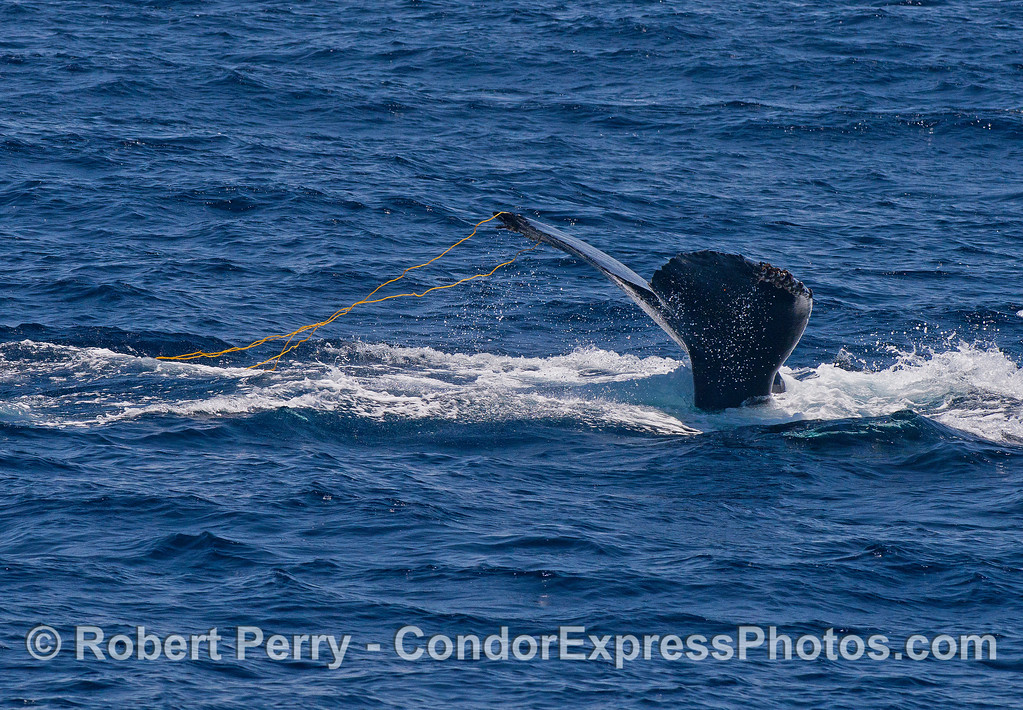 Image 1 of 2:   a humpback whale plays with giant kelp