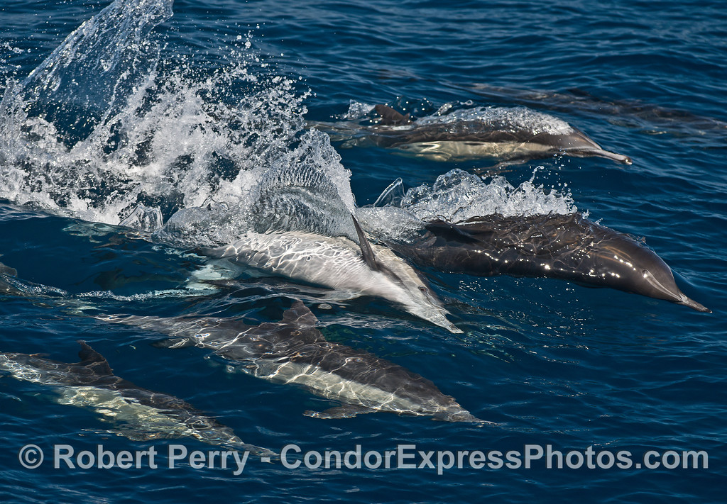 Surfing sideways - long-beaked common dolphins.