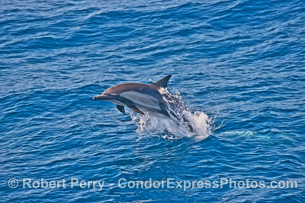Image 1 of 2 in a row:   leaping sequence - long-beaked common dolphin