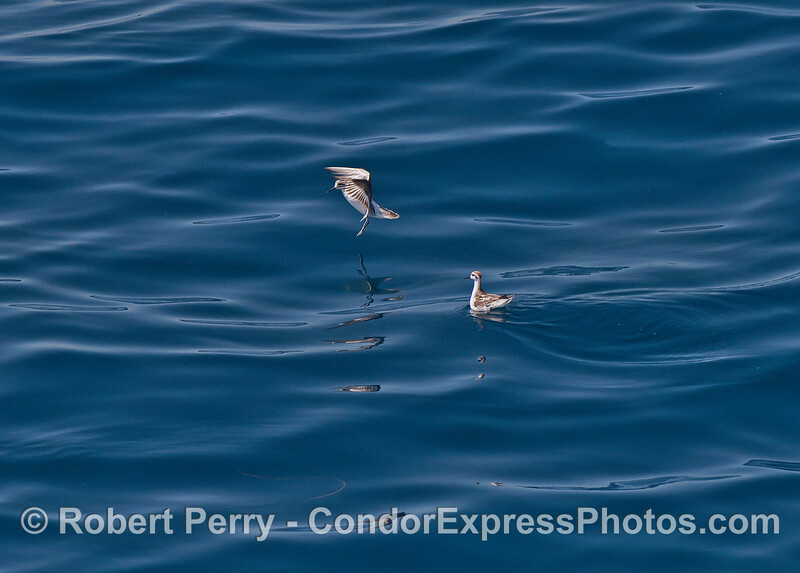 Red-necked phalaropes on a blue glass sea