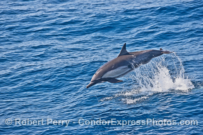 Image 2 of 2 in a row:   leaping sequence - long-beaked common dolphin
