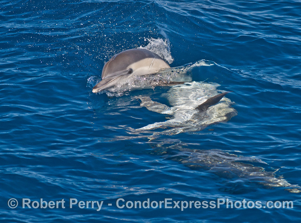 Cavorting long-beaked common dolphins