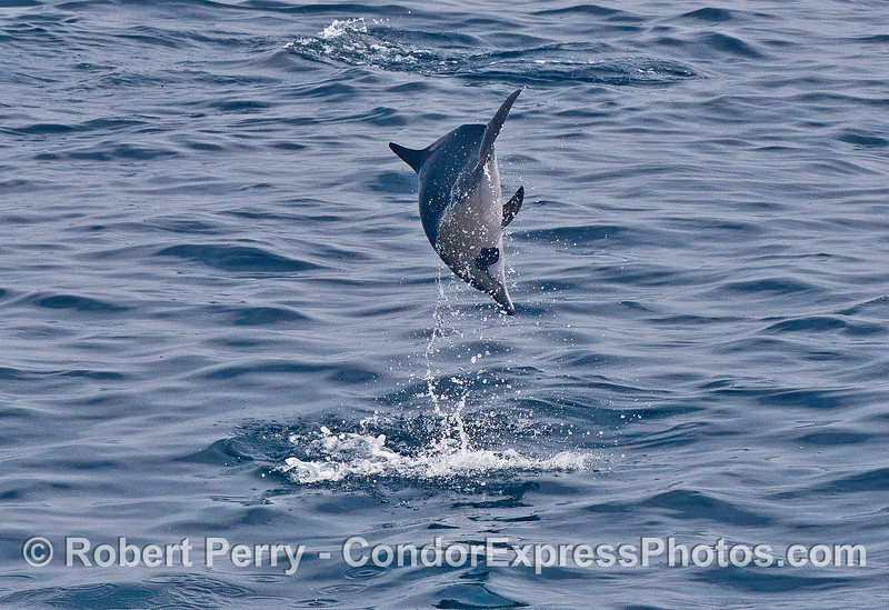 End-over-end leaping - short-beaked common dolphin.