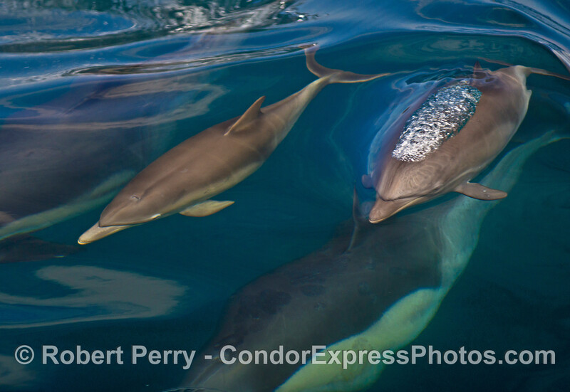 Two long-beaked common dolphin calves ride above their mothers in blue-green water.