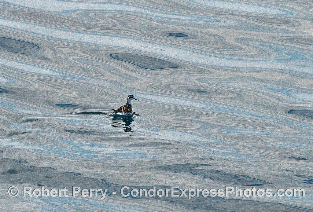 Image 1 of 2:  a red-necked phalarope.