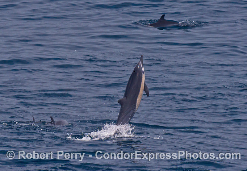 Another short-beaked common dolphin looks like its tail walking.