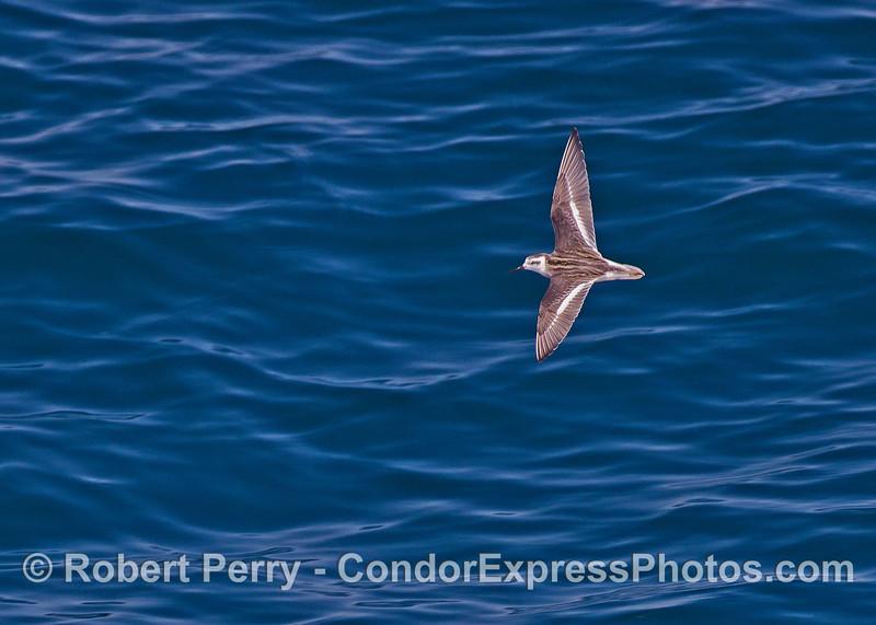 Red-necked phalarope in flight.