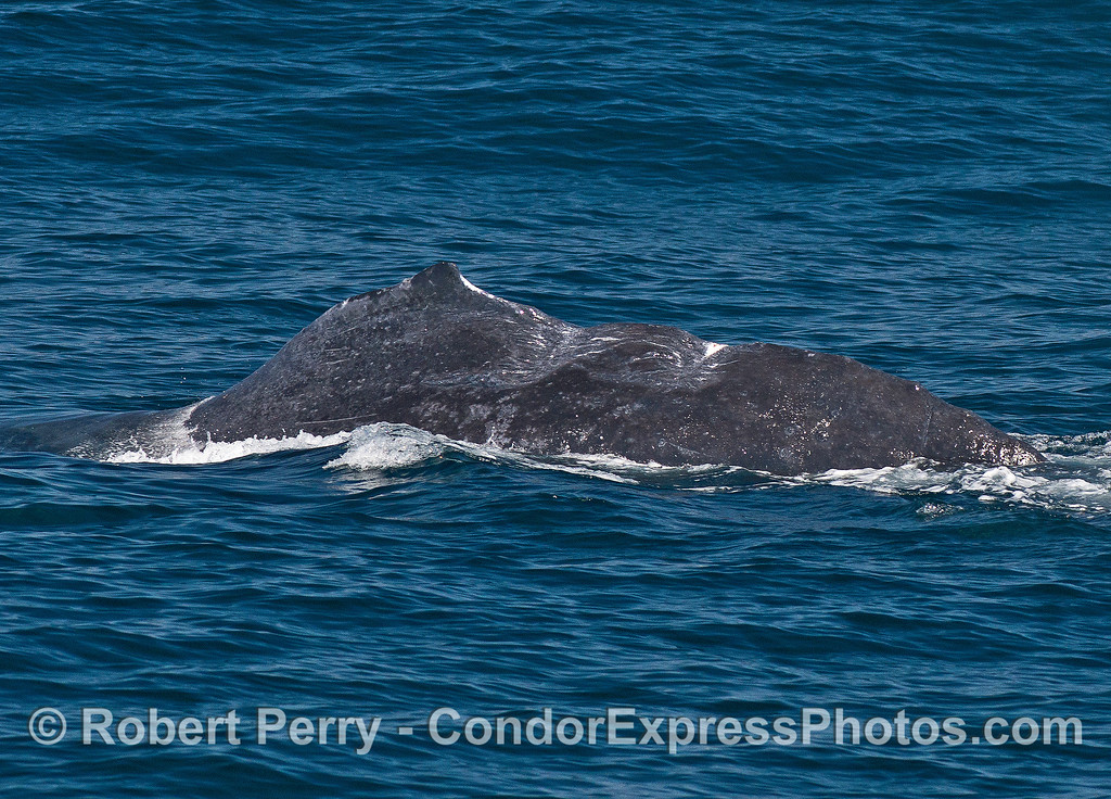 Humpback whale with two deep v-shaped wounds in its back near the tail stock.