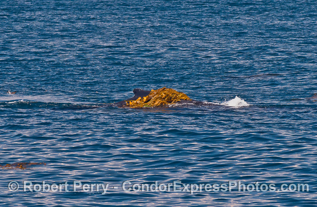 Image 1 of 3:   a kelping humpback whale.