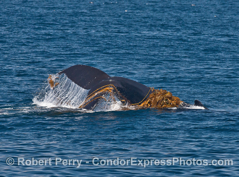 Image 2 of 3:   a kelping humpback whale.