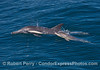 Image 1 of 3:   long-beaked common dolphin mother and calf.
