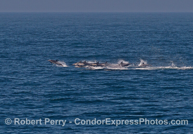 Long-beaked common dolphin herd on the move:   stampede.