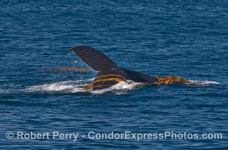 Image 3 of 3:   a kelping humpback whale.