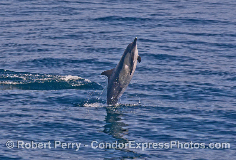 Tail walking?   a long-beaked common dolphin.
