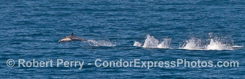 Panorama:   a high-speed running long-beaked common dolphin.