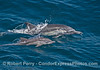 Image 2 of 3:   long-beaked common dolphin mother and calf.