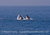 Image 1 of 3:  surface lunge feeding humpback whales.