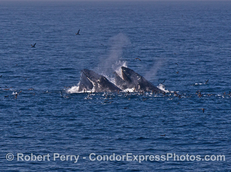 Image 2 of 3:  surface lunge feeding humpback whales
