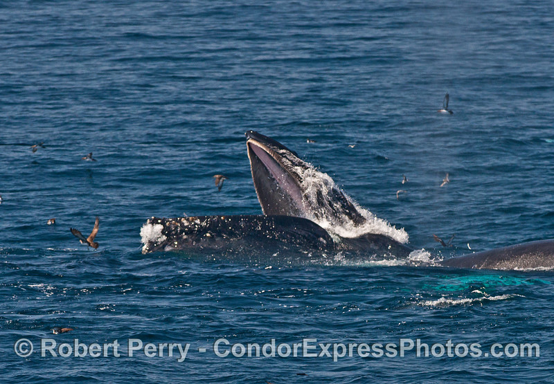 Image 3 of 3:  surface lunge feeding humpback whales