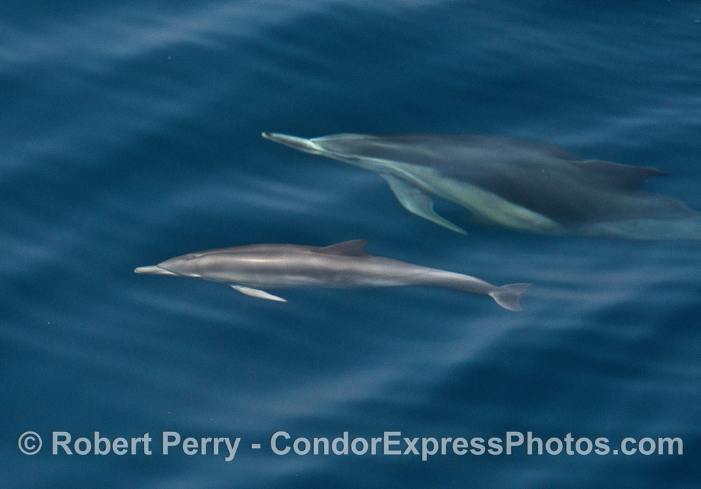 Swimming along under the cobalt water - a long-beaked common dolphin mother and calf.