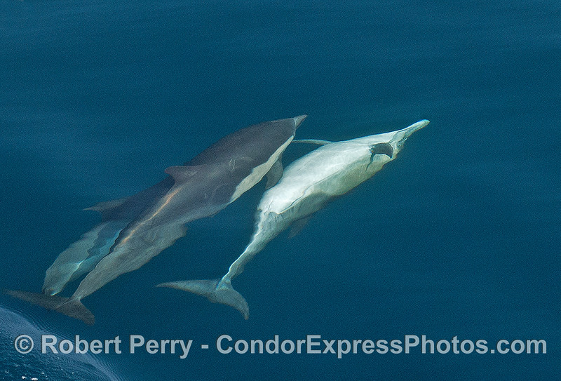 "Long-beaked common dolphin ""socializing"" behavior."