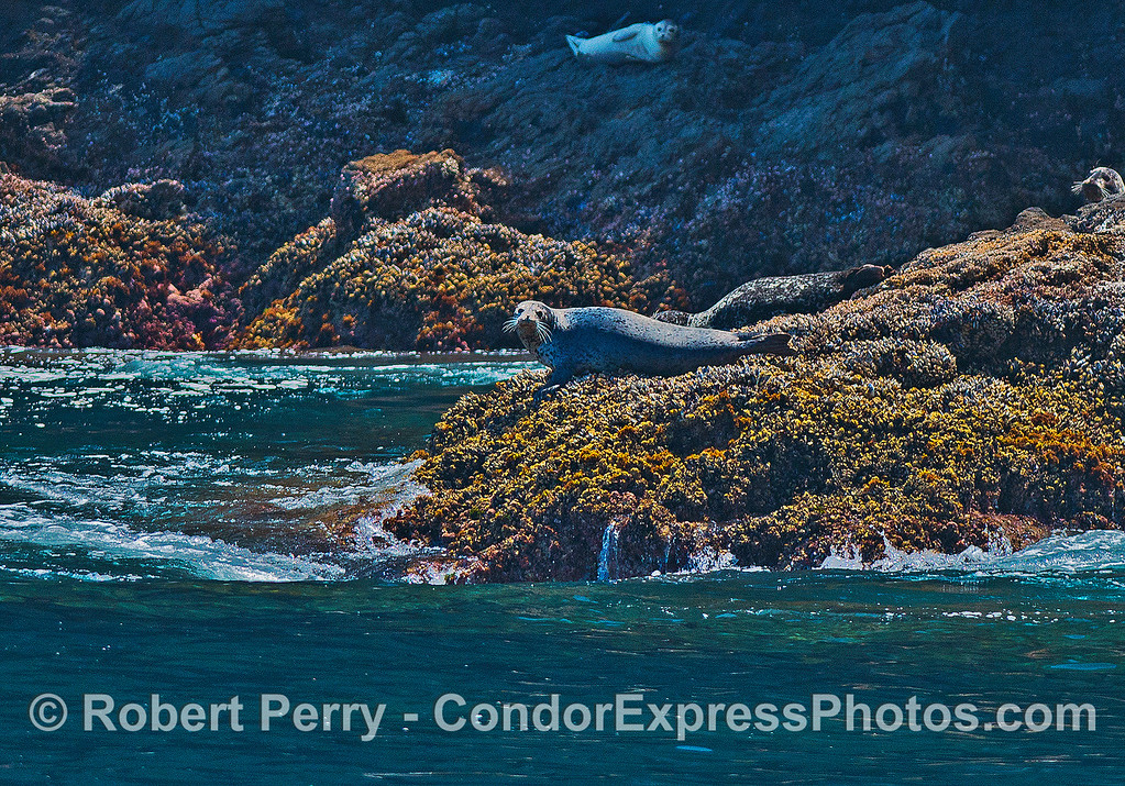 Pacific harbor seal on a rocky ledge - Santa Cruz Island.