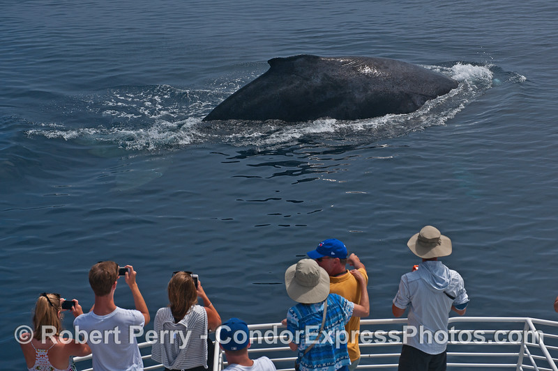 A friendly humpback whale and close encounter of the cetacean kind.