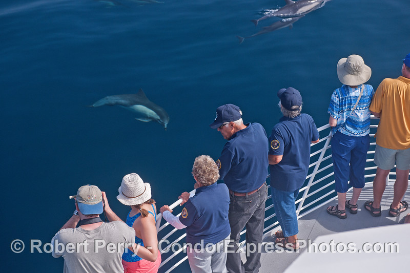 A friendly long-beaked common dolphin takes a look at its fan club.