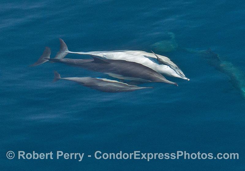 """Long-beaked common dolphin """"socializing"""" behavior."""