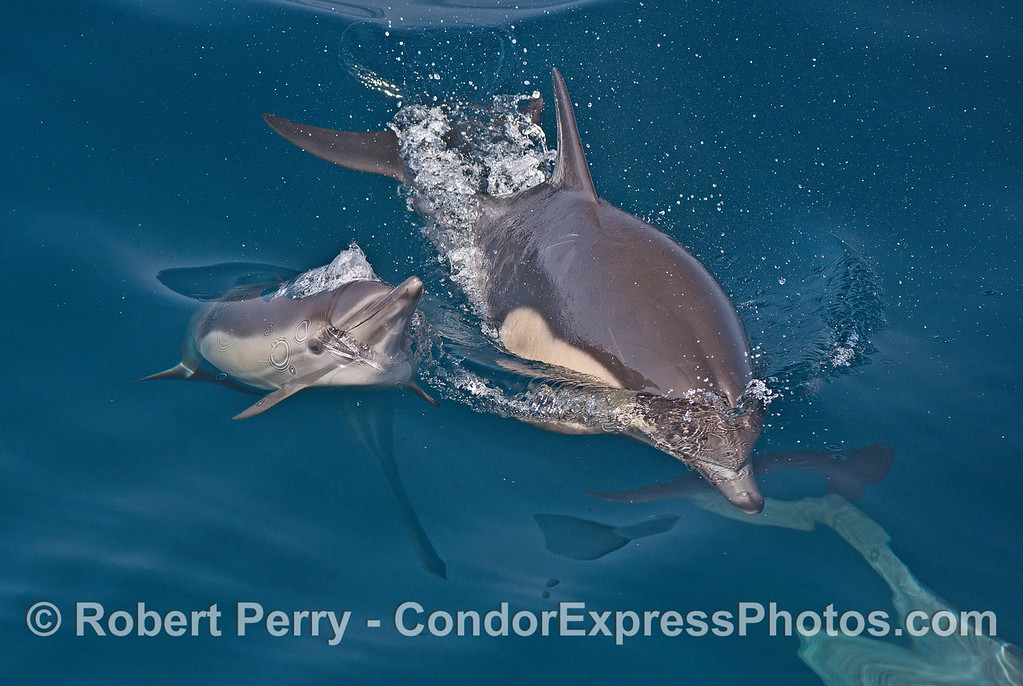 Poking its  head out to take a breath of air - a long-beaked common dolphin mother and calf.
