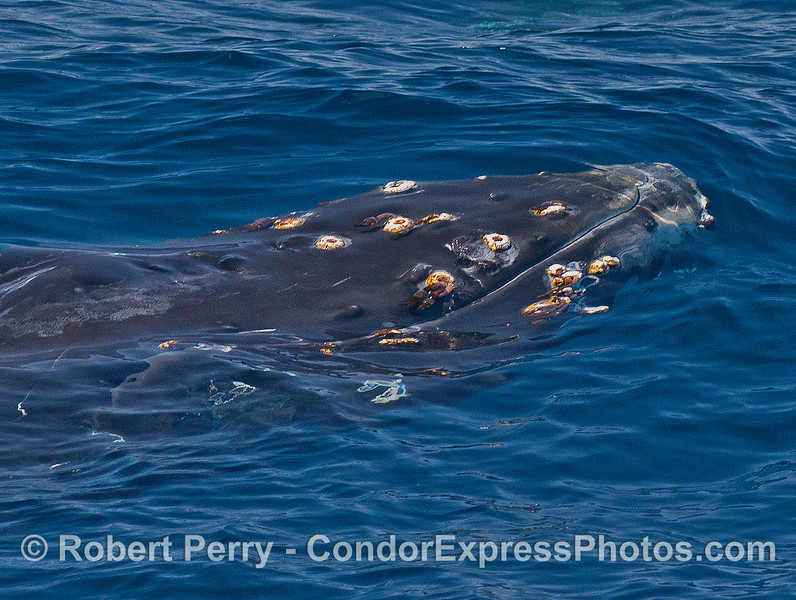 Barnacles and bumpy tubercles characterize the head of the humpback whale - seen under the clear blue water.