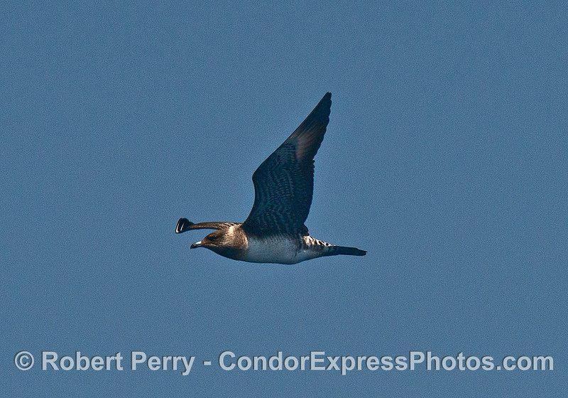 Image 2 of 2:  A long-tailed jaeger.