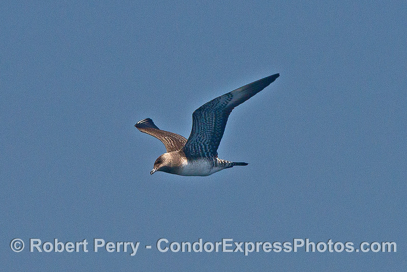 Image 1 of 2:  A long-tailed jaeger.
