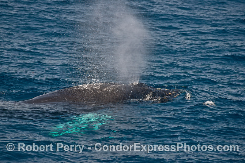 Large humpback whale calf with white pectorals - spouting.
