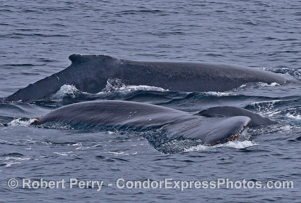 One dorsal fin and one very flat tail fluke on the water - humpback whales.