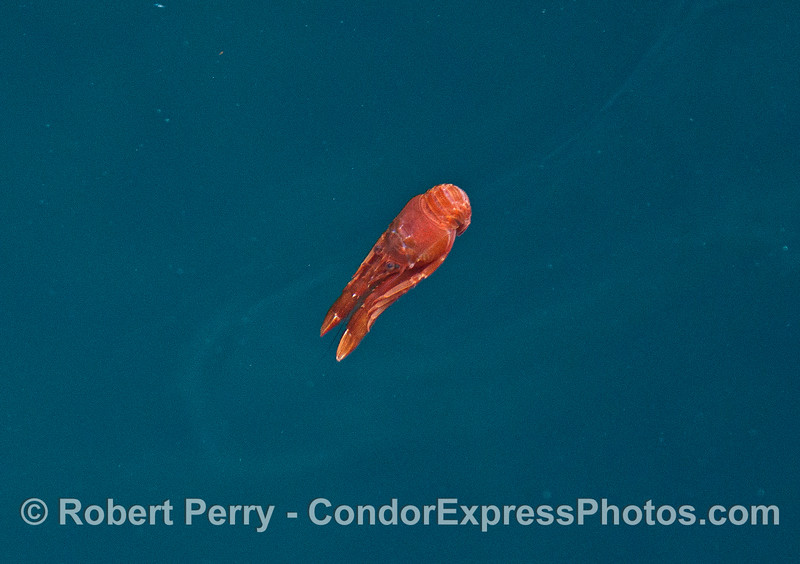 A pelagic red crab scoots backwards in the water.