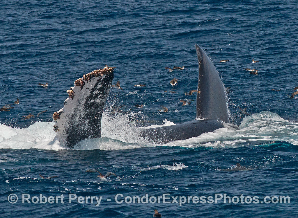 Image 3 of 4 in a row:  surface lunge-feeding humpback whales.
