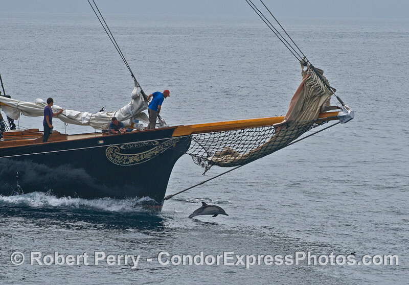 """The 42-meter yacht """"America"""" watched bow-riding dolphins."""
