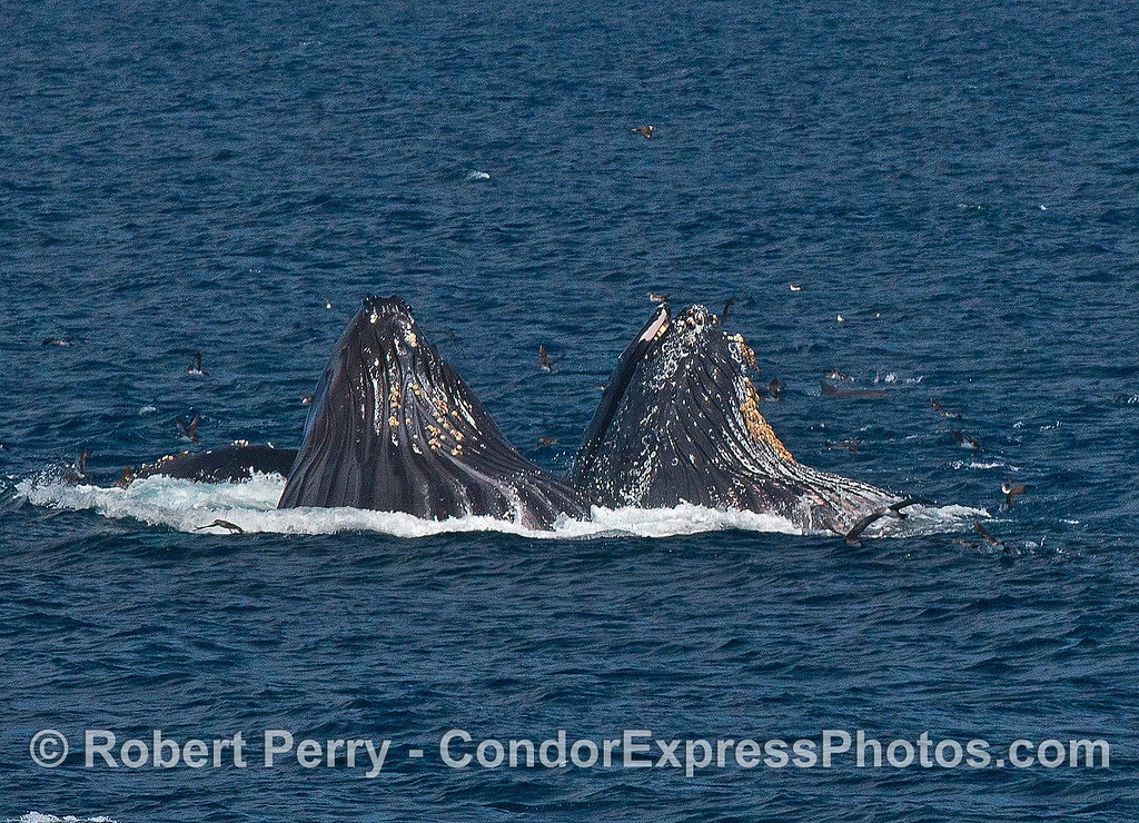 Image 1 of 4 in a row:  surface lunge-feeding humpback whales.