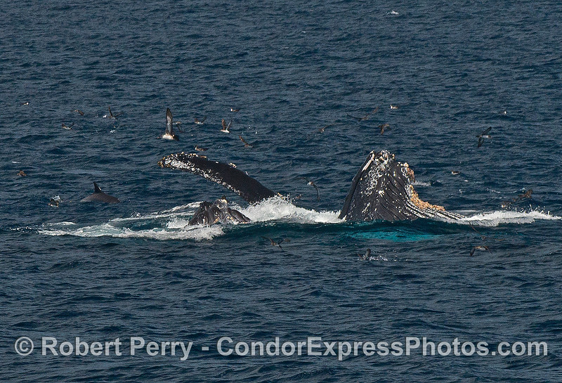 Image 2 of 4 in a row:  surface lunge-feeding humpback whales.