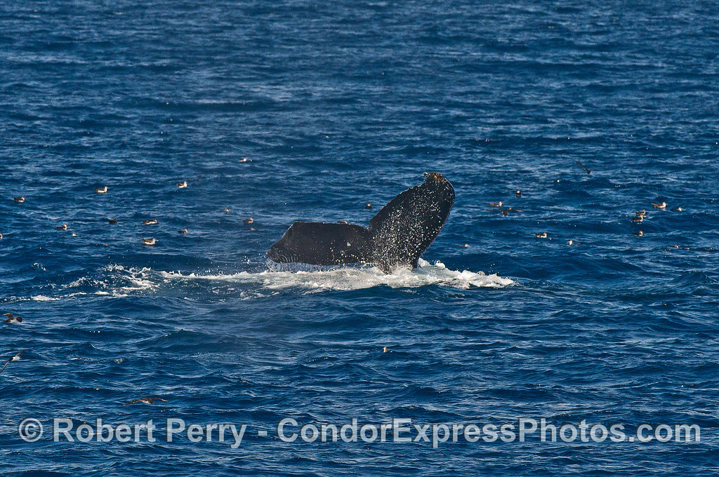 Humpback whale with clipped tail fluke