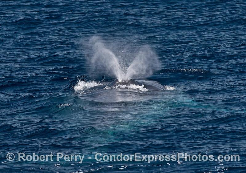 Close up view of spout - blue whale