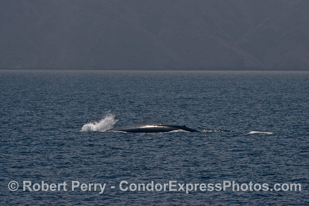 This blue whale let out a huge bubble blast every time it initiated a deep dive.