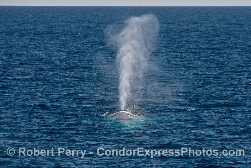 Tall spout - Blue whale, looking from tail towards head